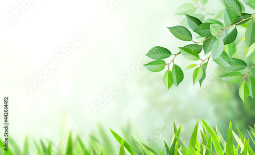 Fotografiet Cherry tree branch with green leaves on blurred sunny background