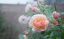 Peach-colored Roses With Green Leaves  On Smoky Background. Apricot Blend Color Floribunda Rose