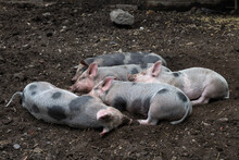 Farm Piglets Sleeping Together In A Group In The Sty.