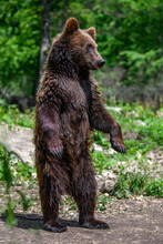 Brown Bear Standing On His Hind Legs  In The Summer Forest. Animal In Natural Habitat. Wildlife Scene