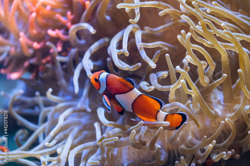 Fotografie, Obraz Peacock Clownfish In Anemone Tentacles