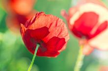 Vue De Dessous D'une Fleur Coquelicot Rouge Sur Fonds Vert