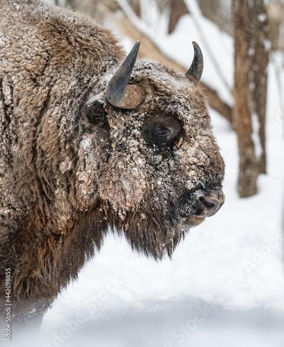 Fényképezés Wisent bizon winter forest
