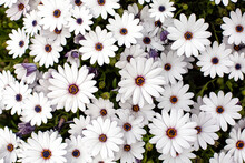 White Cape Daisy With Purple Center. Background.