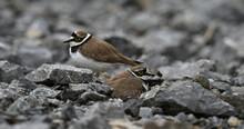 Flußregenpfeifer - Pärchen Am Nest //  Couple Of Little Ringed Plovers At The Nest (Charadrius Dubius)