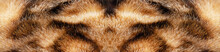 Cat Fur Bengal Cat Texture Background. Close-up.