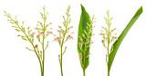 Galanga plant isolated on white background