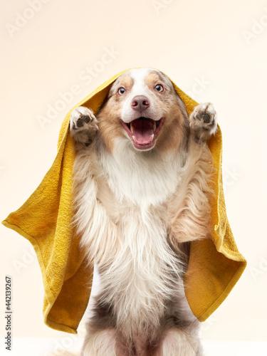 Fotografiet wet dog after shower