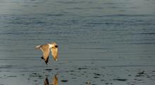 Seagull Flying With Mussel In Beak Near Water