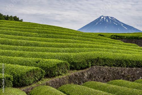 Obraz na plátně Mt. Fuji over the fresh green tea plantations in early summer