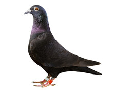 Black Feather Homing Pigeon Isolated White Background