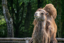Hairy Brown Camel In A Zoo