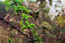 Closeup Shot Of Green Leaves On Thorny Branches Of A Shrub