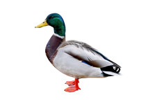 Male Mallard Duck (Anas Platyrhynchos), Isolated On  White Background