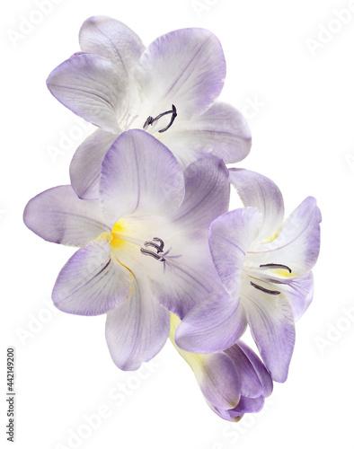 Fotografia Purple freesia flowers isolated