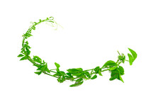 Vines Or Green Creeping Plants