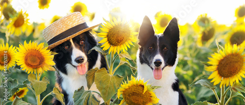 Foto Two border collie dogs at the sunflower farm