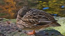 Close-up Of A Resting Female Mallard