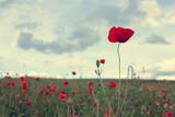 Fototapeta Kuchnia - Poppy flowers field in spring and rain cloudy sky.