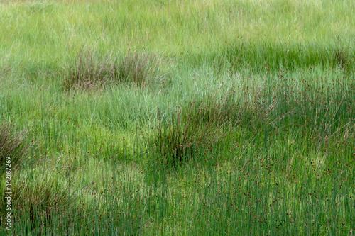 Obraz na plátně Reeds and grasses, natural marshland nature background, UK.