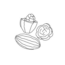 Cocoa Fruit, Outline Drawing Of A Tropical Fruit With Juicy Pulp And Seeds Inside