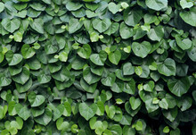 Background Of Green Leaves In The Shape Of A Heart.Green Leaf Background