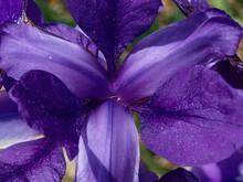 Purple Iris Outdoors In The Sunshine