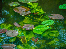 Pink Water Lilies On A Local Pond. Color