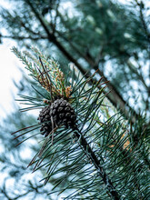 Young Green Bumps On A Pine Branches Close-up. Color
