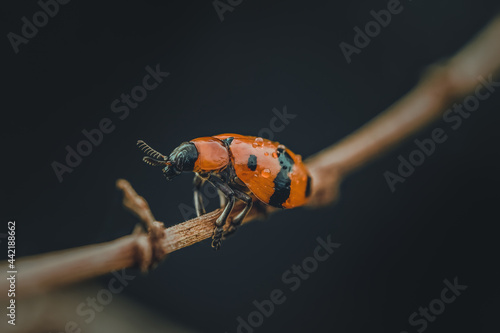 Canvas Print Found this drenched orange beetle in heavy rain, struggled to get a shelter on the dried plant, and helped it go for a safe place