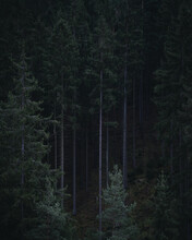 Vertical Shot Of A Dark Scary Forest With Tall Trees