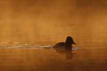 Closeup Of A Duck Swimming In A Lake During Sunset