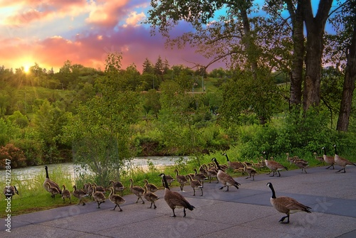 Fotografia, Obraz Gaggle Of Geese Walking Towards The Water At Sunrise