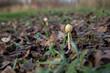 Młody grzyb wyrastający z suchych liści
