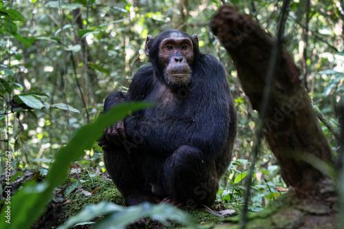 Fotografie, Obraz Chimpanzee, Kibale National Park, Uganda
