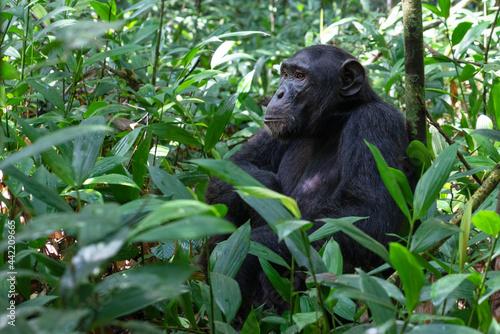 Fotografia, Obraz Chimpanzee, Kibale National Park, Uganda