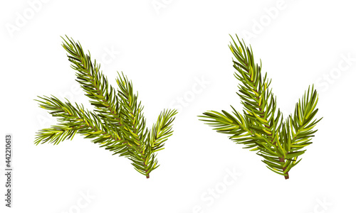 Fotografie, Obraz Evergreen Pine Tree Branch with Needle Leaves Vector Set