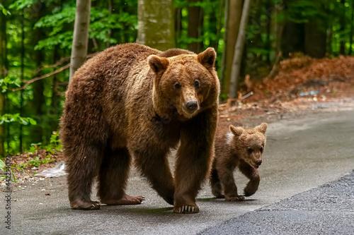 Tela Adorable brown bear and cub in Bucegi Mountains, Sinaia area, Prahova County, Ro