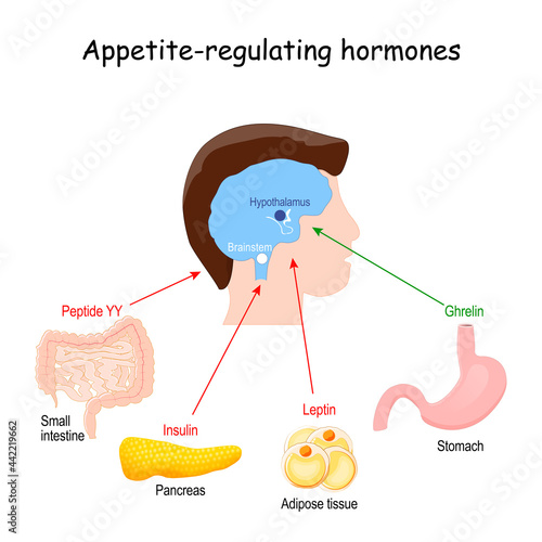 Fotografie, Obraz hormones that regulate metabolism, appetite, satiety and hunger