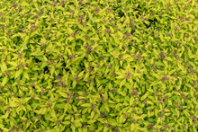 Inflorescences Of Spiraea Japonica In The Garden, Background.