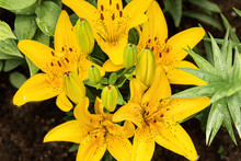 Yellow Daylily Flower After Rain With Water Drops. Close-up, Selective Focus, Top View