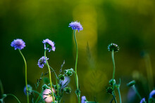 Sunset Amongst A Field Of Flowers (scabiosa), Also Known As The Pincushion Flower