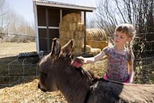 Girl Brushing Donkey's Head In Farm