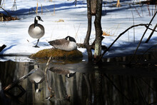 Canada Geese (male And Female) Resting In The Snow