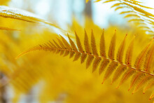 Yellow Fern Leaves Close-up. Bright Sunny View. Abstract Beautiful Natural Background. Floral Design. Macro Fern Frond On Blue Background.