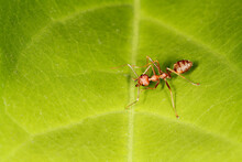 Close Up Red Ant Is Stay On Fresh Stick Tree. The Red Ant Is Work Group Bug Animal