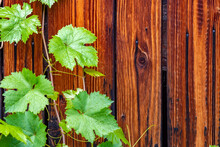 Backdrop, Background, Wall, Textured Surface Made Of Beautiful Wooden Boards Painted With Mastic With Green Grape Leaves, A Bindweed At The Edge Of The Image With An Empty Space For Inserting Text
