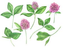 Watercolor Clover Flowers Set. Wildflowers Illustration