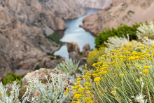 Helichrysum Italicum  Or Curry Plant Above The Canyon Of The Zrmanja River, Croatia