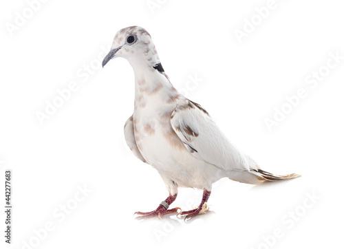 Obraz na plátně African collared dove